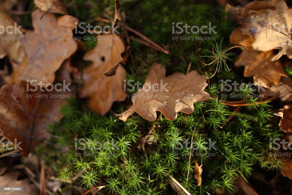 Detail of leaves in autumn - Royalty-free Acorn Stock Photo