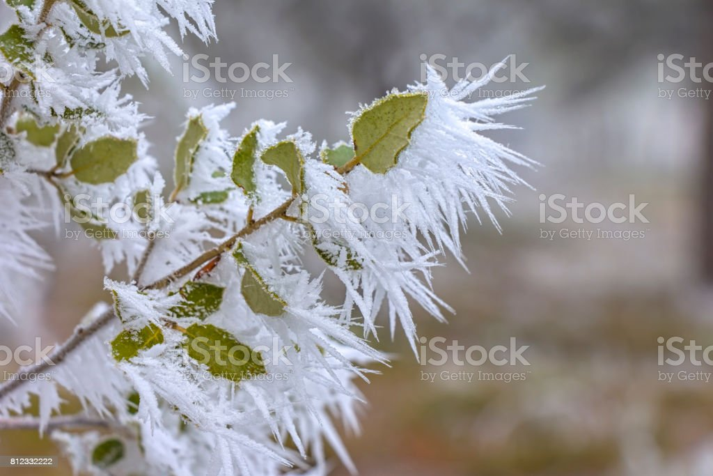 Detail of leaves on which crystals of hoarfrost stock photo