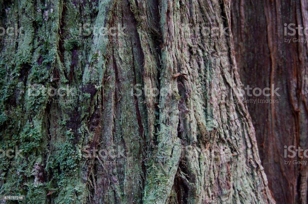 Detail of lichen covered bark of a cedar tree, Goldtsream Park,...