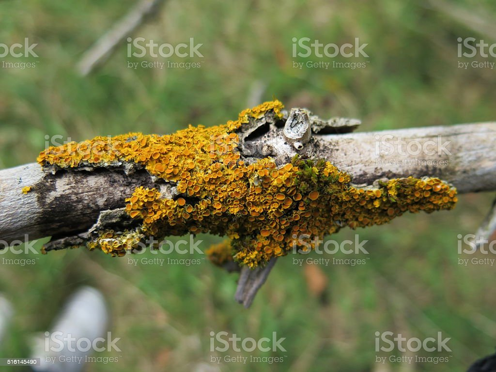 Detail Of Lichen On Tree Branch stock photo
