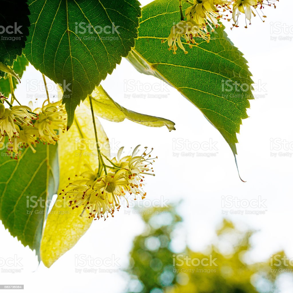 Detail Of Linden Blossoms stock photo