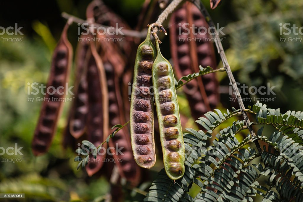 detail of locust seed pods stock photo