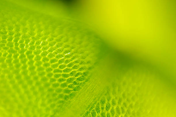 Detail of moss leaf (Plagiomnium affine) stock photo