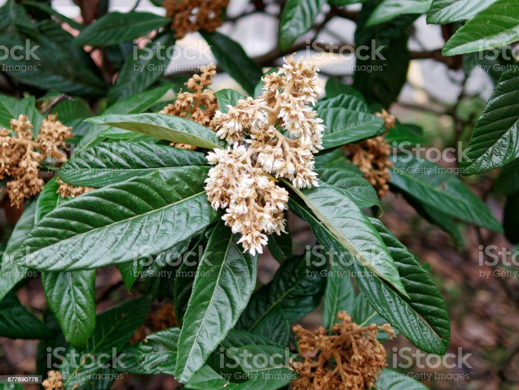 detail of nespolo flower stock photo