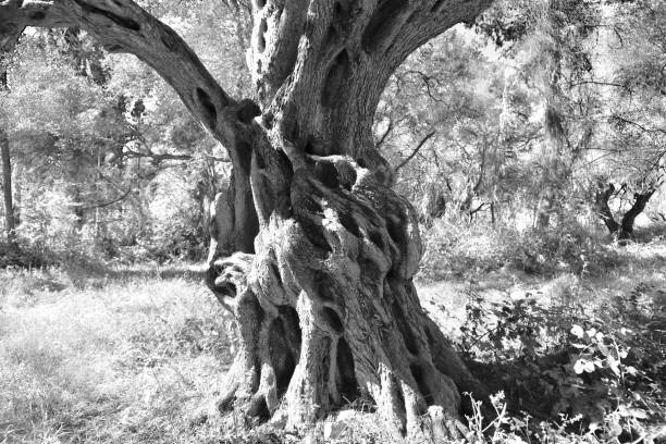 Detail of old olive tree stock photo