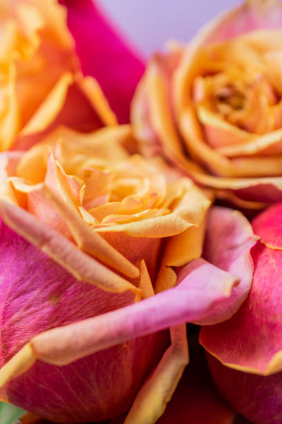 detail of pink and yellow rose blooms stock photo