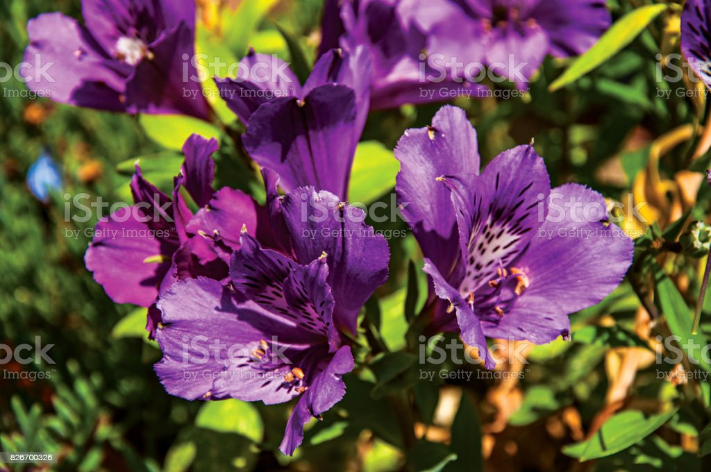 Detail of purple garden flower in the village of Châteauneuf-du-Pape. stock photo