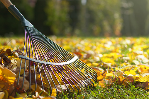 Detail of rake in autumn season. Raking in garden.