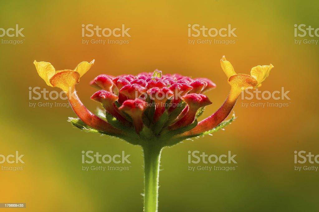 Detalle de red Lantana flor gustos foto de stock libre de derechos