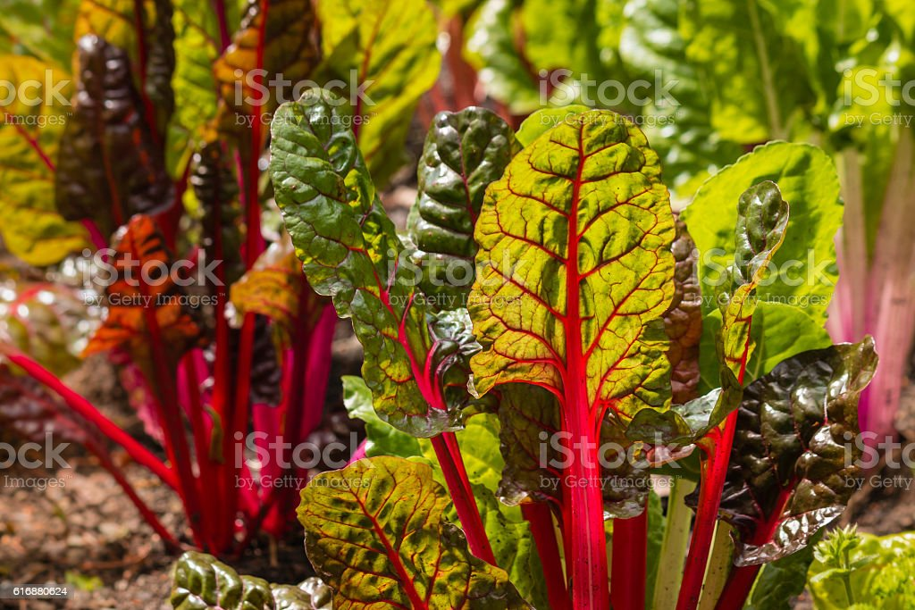 detail of red swiss chard leaves in garden stock photo