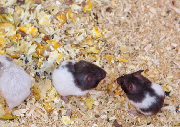 détail du hamster russe - Photo