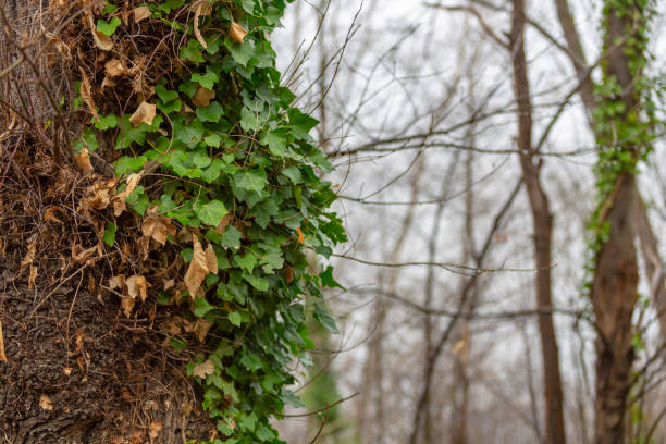Detail of some green leaves in the trunk of a tree in a forest in France stock photo