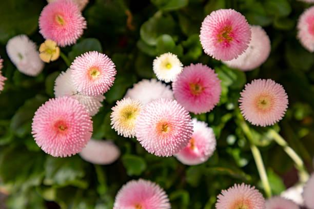 detail van lentebloemen - madeliefje stockfoto's en -beelden