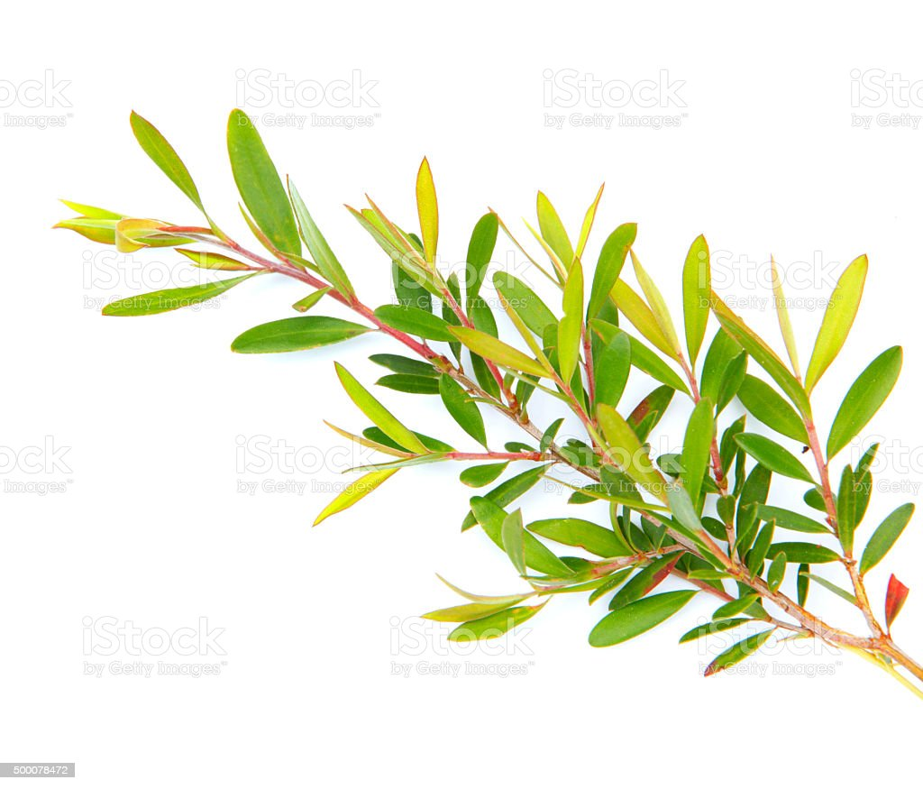 Detail of tea tree plant stock photo