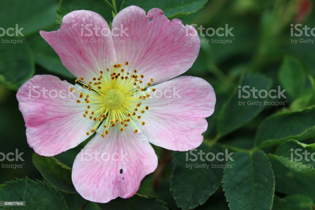 Detail of the bloom of wild rose shrub stock photo