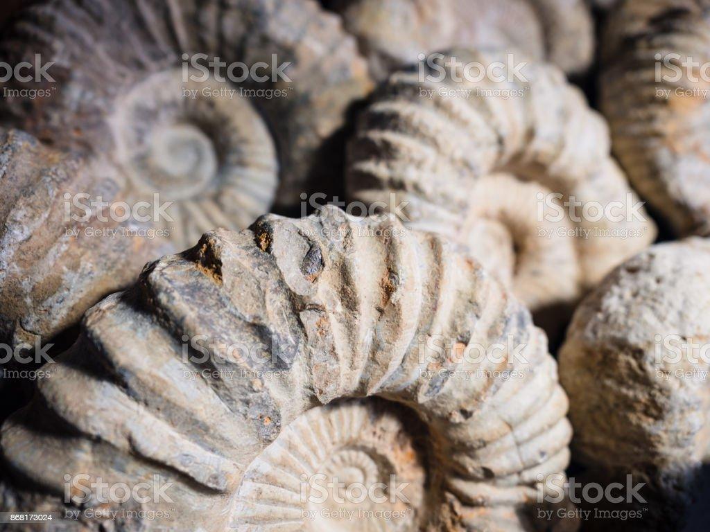 Detail des Fossils eines Ammoniten. – Foto