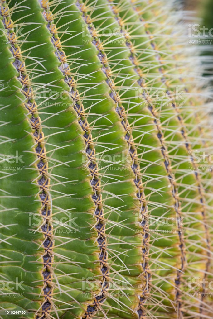 Detail of the Golden Barrel Cactus. stock photo