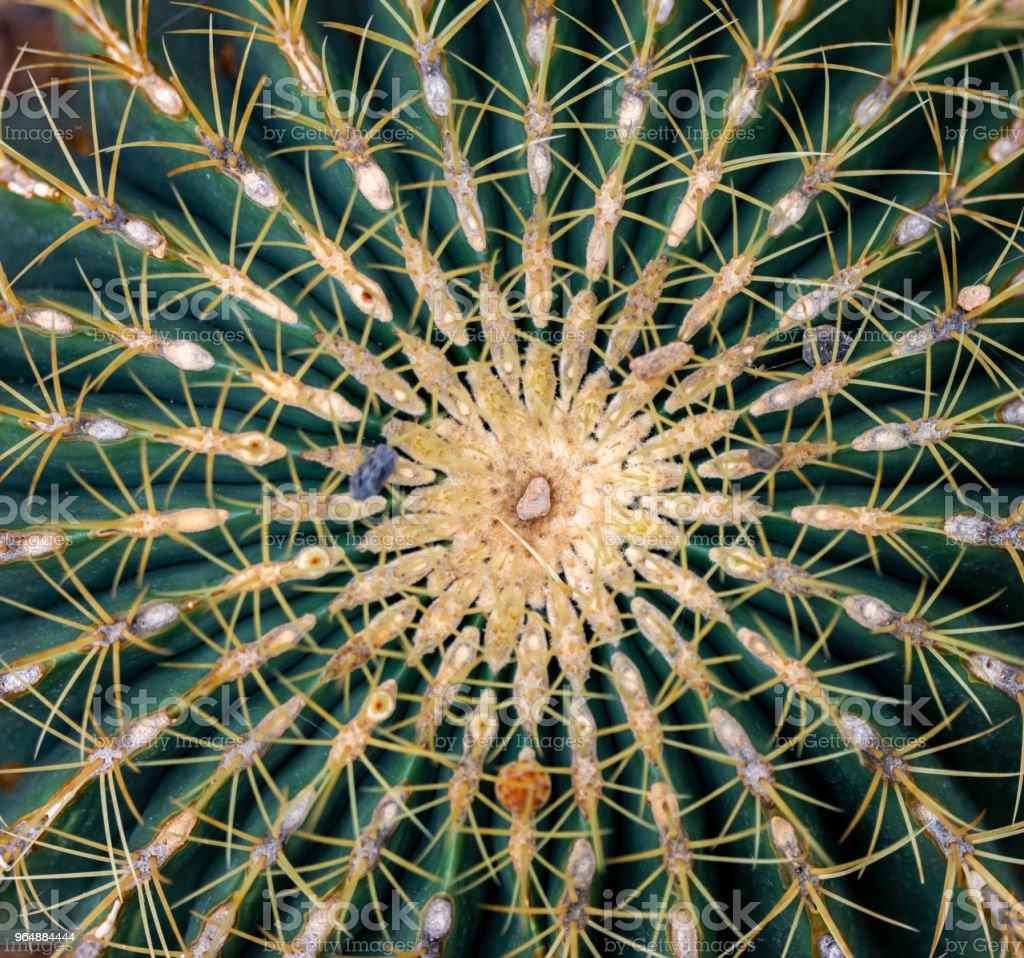Detail of the Golden barrel cactus royalty-free stock photo
