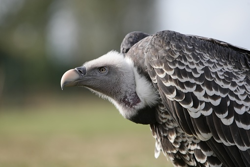Side head view of a griffon vulture or Eurasian griffon. This large scavenger bird is looking for a prey, dead or alive.