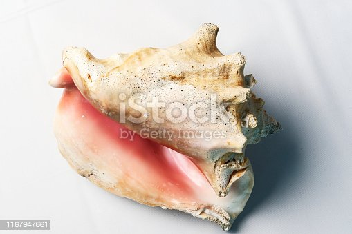 Detail of the Lobatus gigas, originally known as Strombus gigas, commonly known as the queen conch, is a species of large edible sea snail.