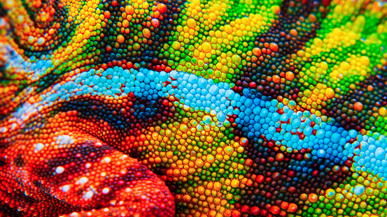 Detail of the particular skin of a chameleon.
