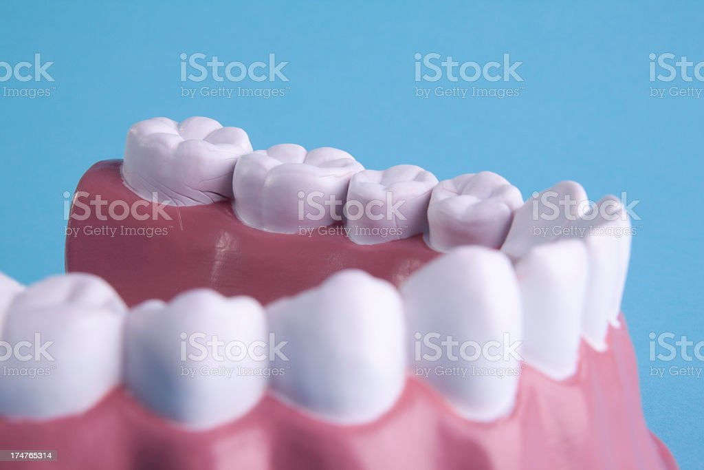 Detail of tooth model royalty-free stock photo