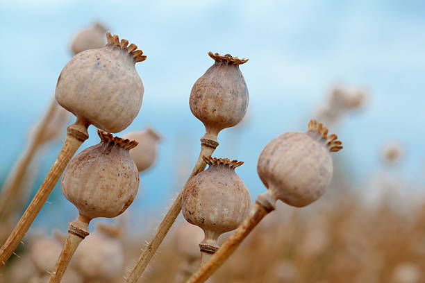 Detail of tree poppyheads on the field stock photo