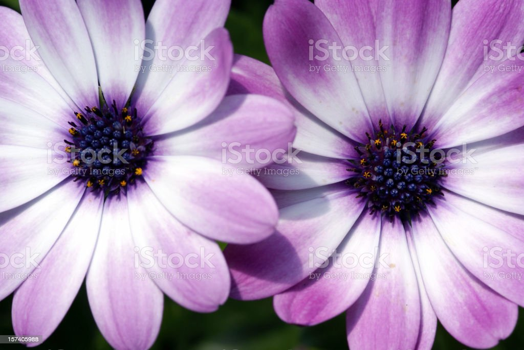 Detail of two cape asters stock photo