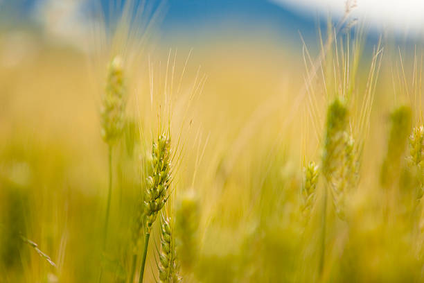 Detail of Wheat Field stock photo