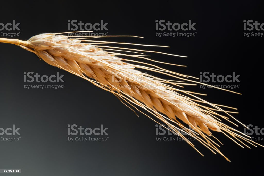Detail Of Wheat On The Dark Background stock photo