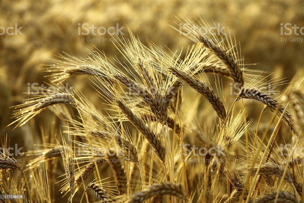 Detail of wheat spikes before harvest royalty-free stock photo