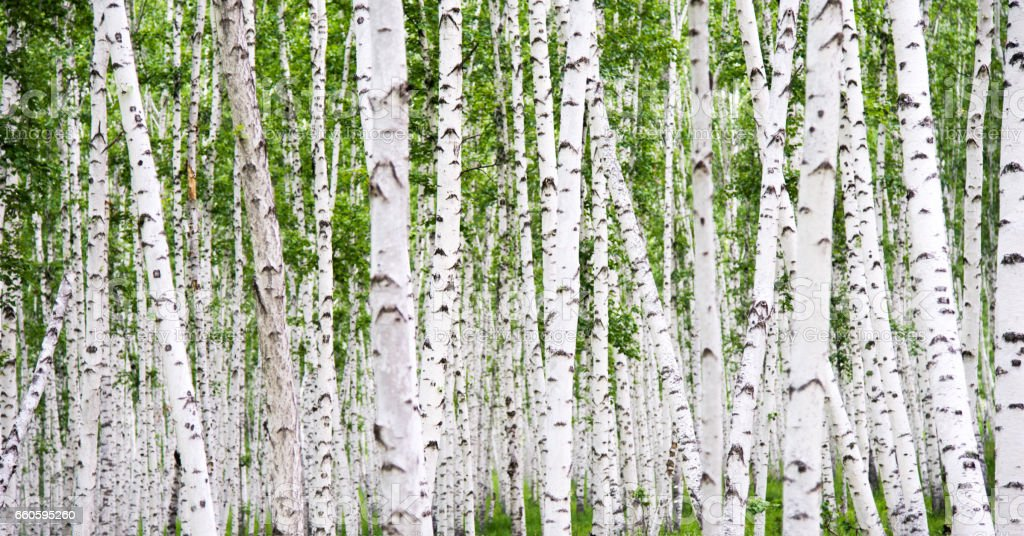 Detail of white birch tree forest stock photo