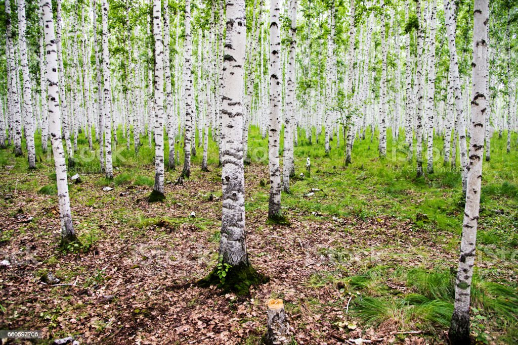 Detail of white birch tree forest royalty-free stock photo