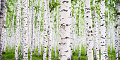 Detail of white birch tree forest.