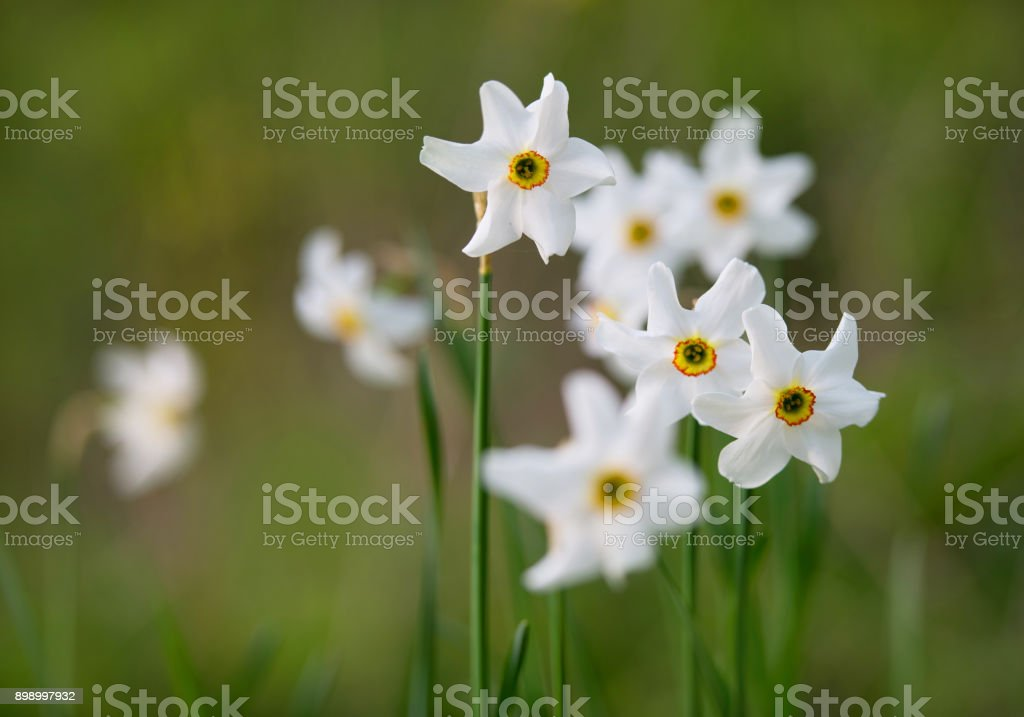 detail of white narcissus flowers stock photo