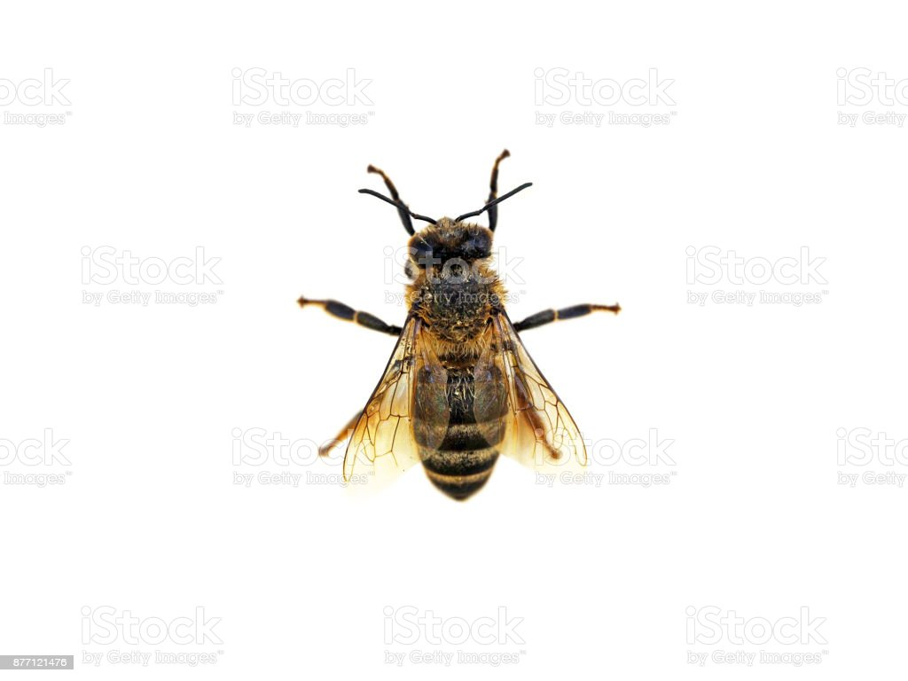 Detail of worker honey bee isolated on white background. Wet apis mellifera. Anthophila, golden honeybee after the rain. Top view stock photo
