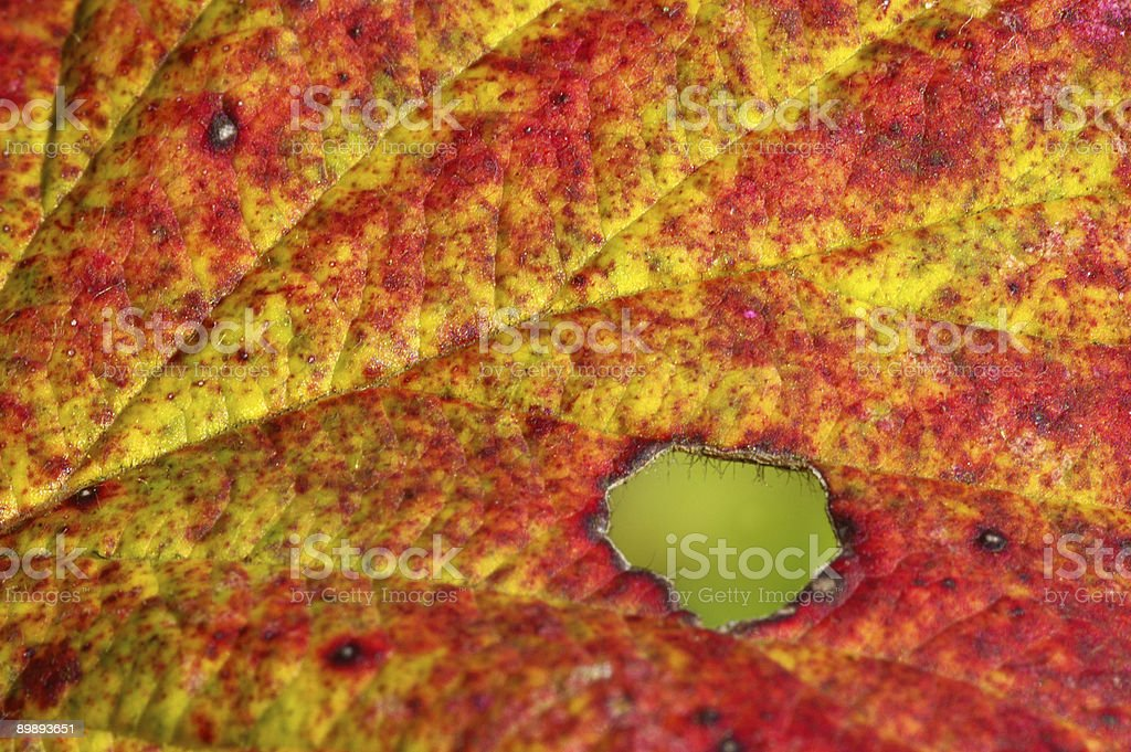 Detail off a fall blackberry leaf royalty-free stock photo