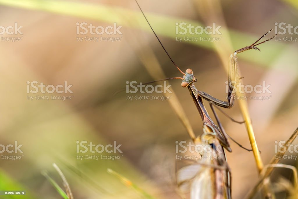 Detail On A Brown Variant Of A Mantis Religiosa Common Name