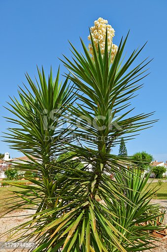 istock Detail on branchs of giant yucca and his flower 1179744867
