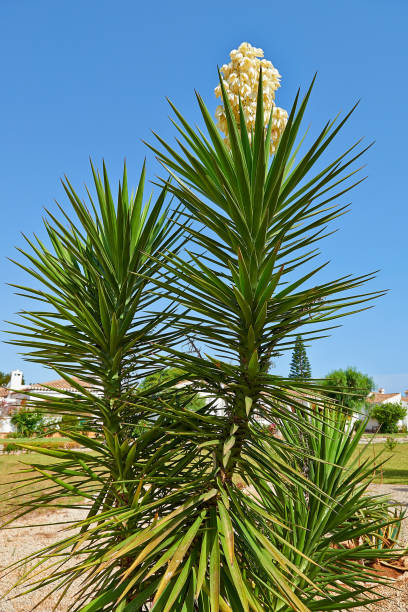 Detail on branchs of giant yucca and his flower stock photo