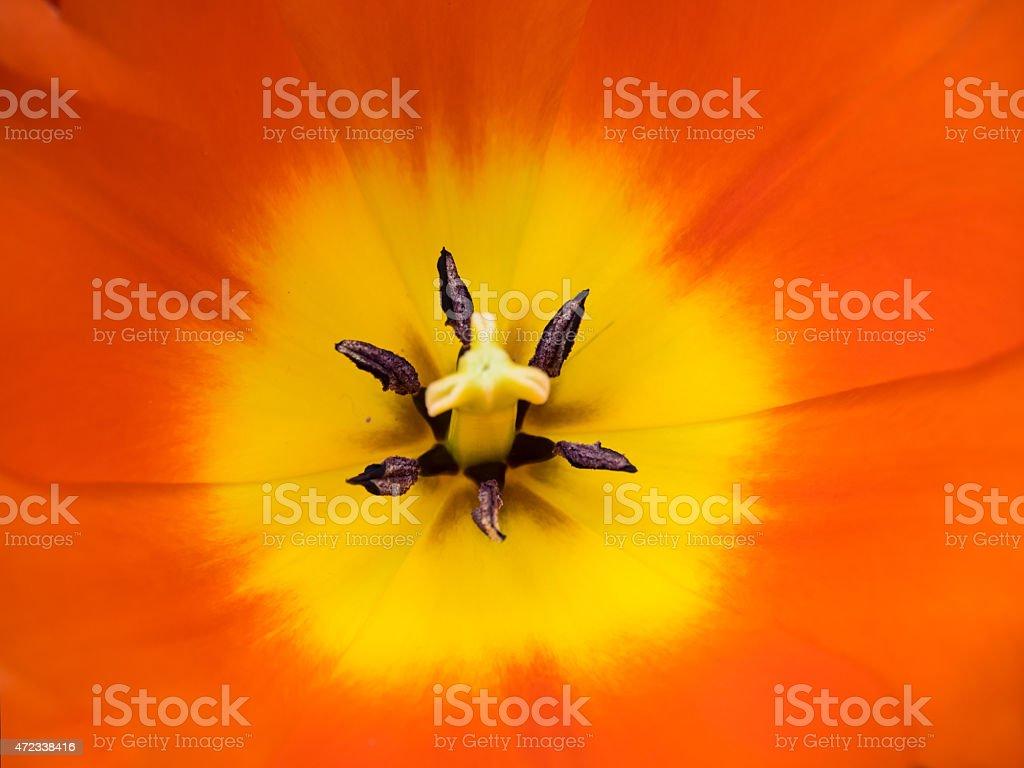 detail orange  and yellow show tulips stock photo