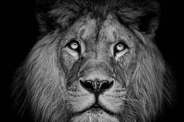 Detail portrait of a beautiful lion in the dark picture id1012372016?b=1&k=6&m=1012372016&s=612x612&w=0&h=kes8sxdsobm3ninpboojahrypzxpgbwith0r97jw5l0=