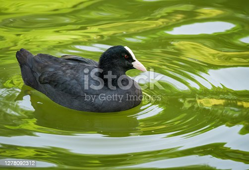 istock Detail portrait of an Eurasian coot or American Coot swimming in turquoise water 1278092312
