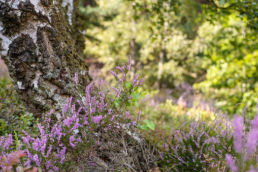 Detail shot of birches, and blooming heath in nature reserve Fischbeker Heathland.