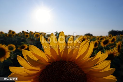 Detail shot of sunflowers in a field at sunset. Negative spaces are located. Natural Backround.