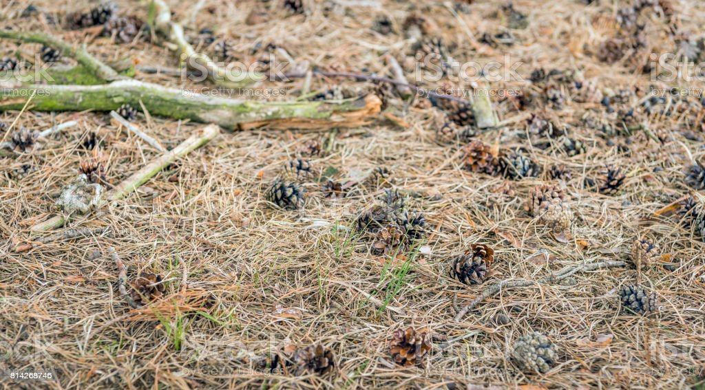 Detailed and lifelike image of a forest bottom with dry pine needles and pine cones stock photo