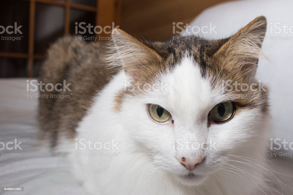 Detailed cat with beautiful eyes in a white background composition stock photo