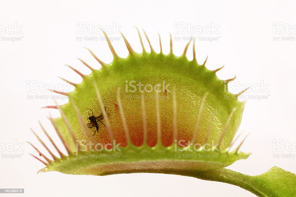 Detailed close-up of an open Venus flytrap with a fly in it stock photo