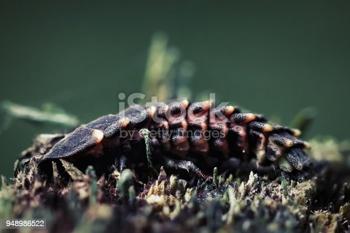 Detailed close-up photo of a Common glow-worm (Firefly) larva.