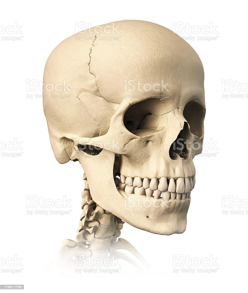 Detaillierte Menschlichen Schädel 34view Auf Weißem Hintergrund ...